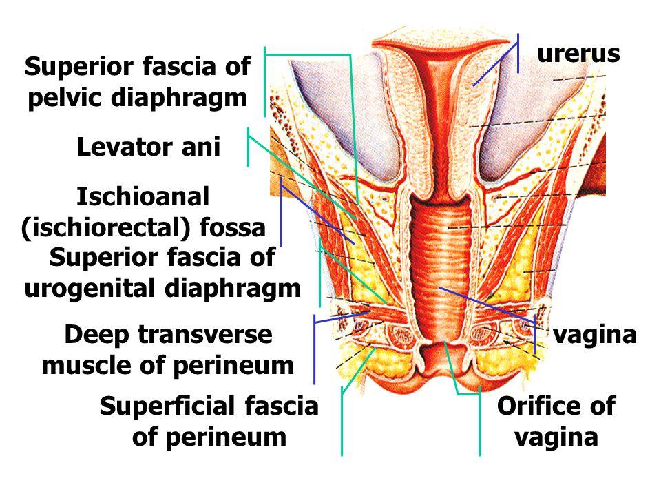 Superior fascia of pelvic diaphragm
