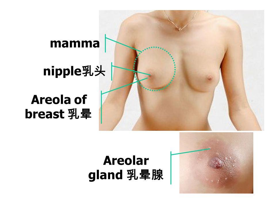 mamma nipple乳头 Areola of breast 乳晕 Areolar gland 乳晕腺