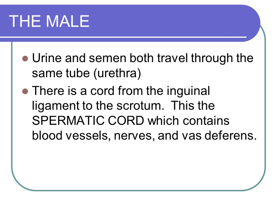 THE MALE Urine and semen both travel through the same tube (urethra)