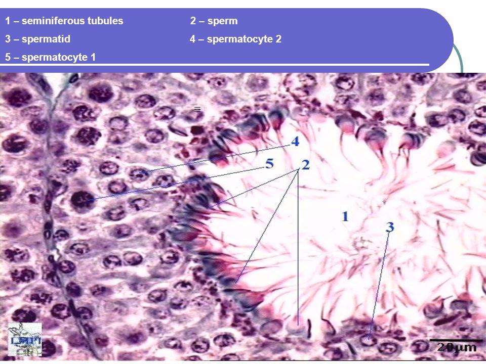 1 – seminiferous tubules 2 – sperm