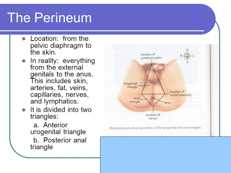 The Perineum Location: from the pelvic diaphragm to the skin.