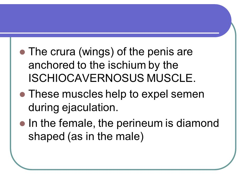 The crura (wings) of the penis are anchored to the ischium by the ISCHIOCAVERNOSUS MUSCLE.