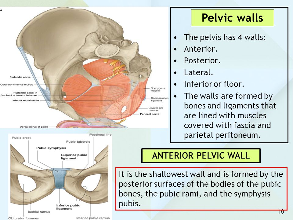 Pelvic walls ANTERIOR PELVIC WALL The pelvis has 4 walls: Anterior.
