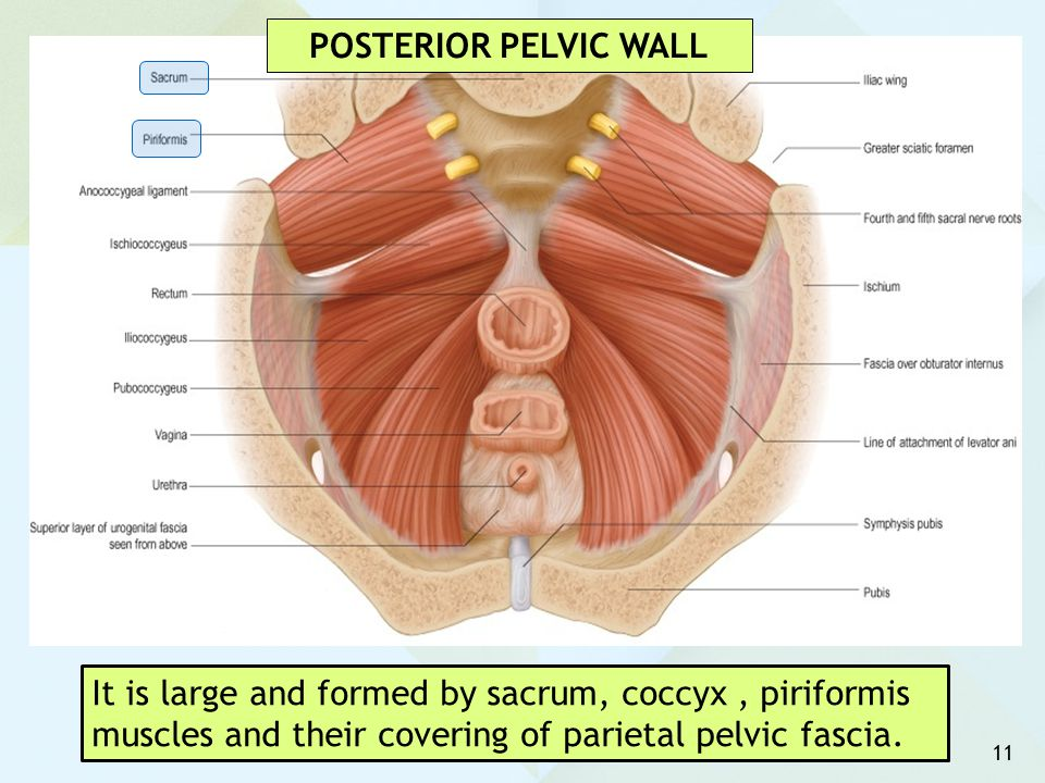 POSTERIOR PELVIC WALL It is large and formed by sacrum, coccyx , piriformis muscles and their covering of parietal pelvic fascia.