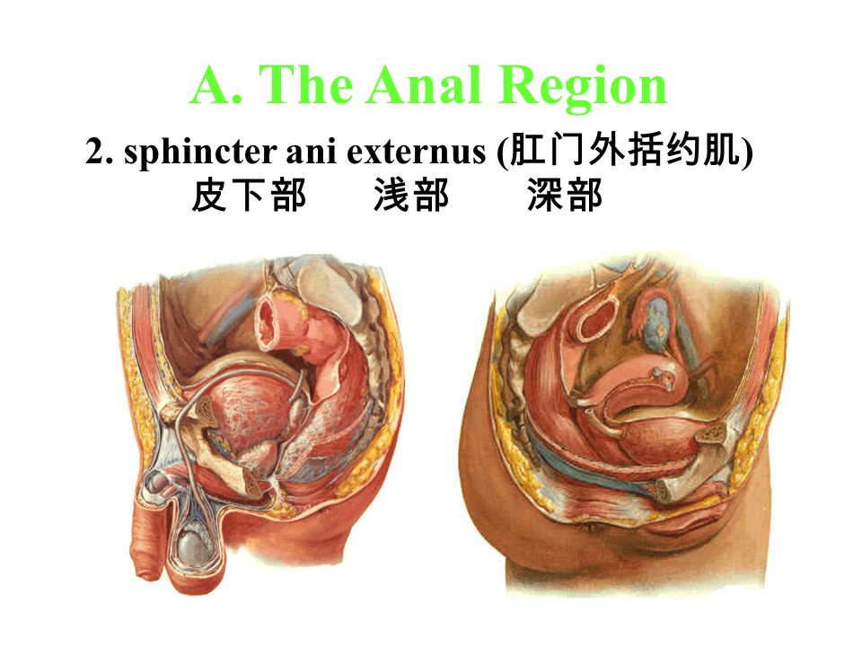 A. The Anal Region 2. sphincter ani externus (肛门外括约肌) 皮下部 浅部 深部
