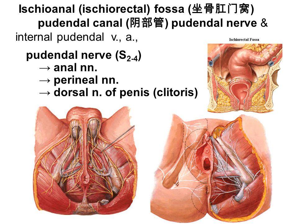 Ischioanal (ischiorectal) fossa (坐骨肛门窝)