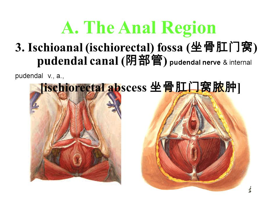 A. The Anal Region 3. Ischioanal (ischiorectal) fossa (坐骨肛门窝)