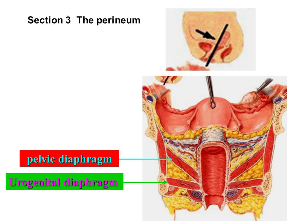 Section 3 The perineum pelvic diaphragm Urogenital diaphragm