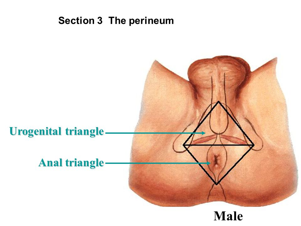 Section 3 The perineum Urogenital triangle Anal triangle Male