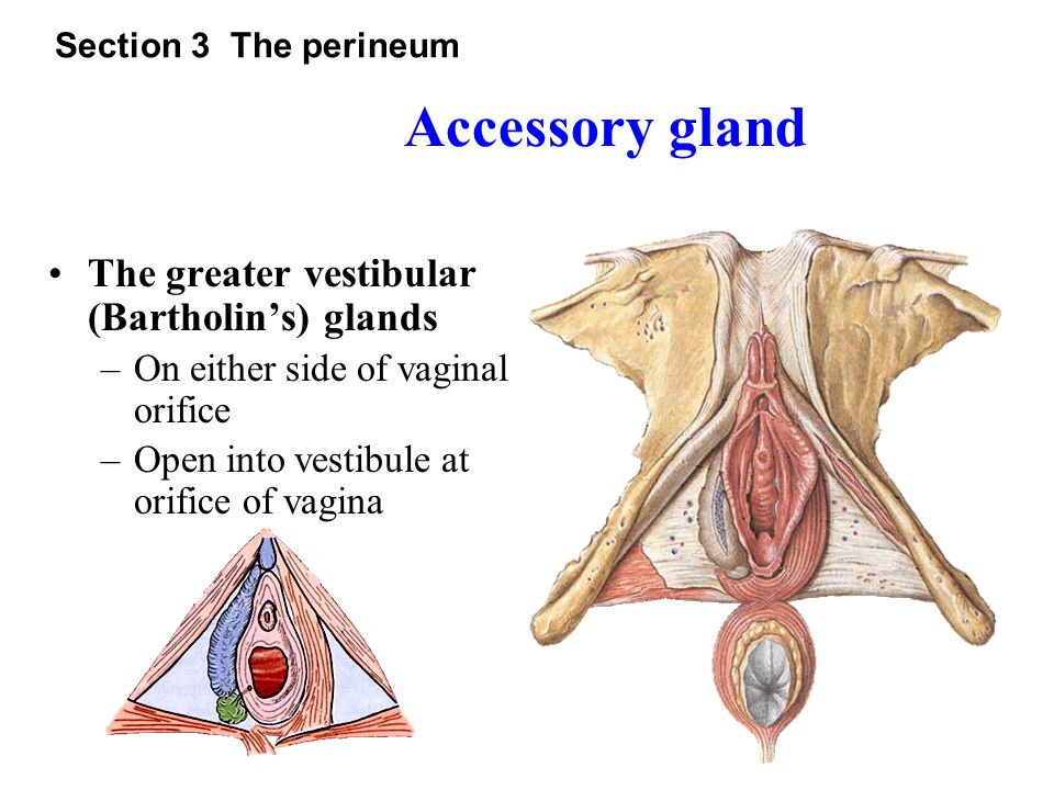 Accessory gland The greater vestibular (Bartholin's) glands