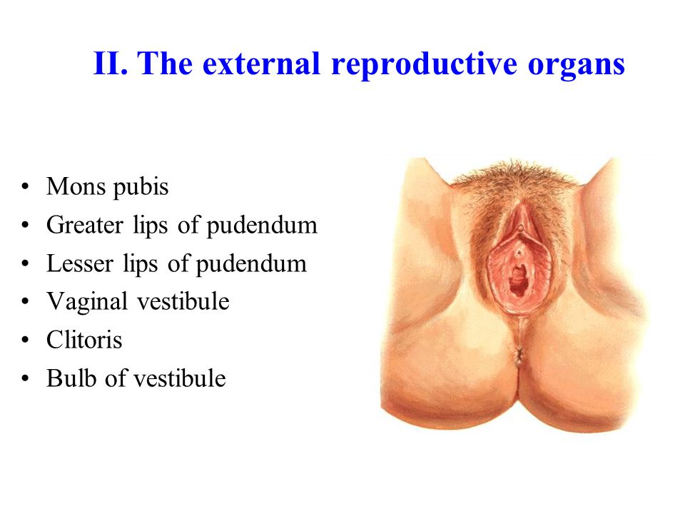 II. The external reproductive organs