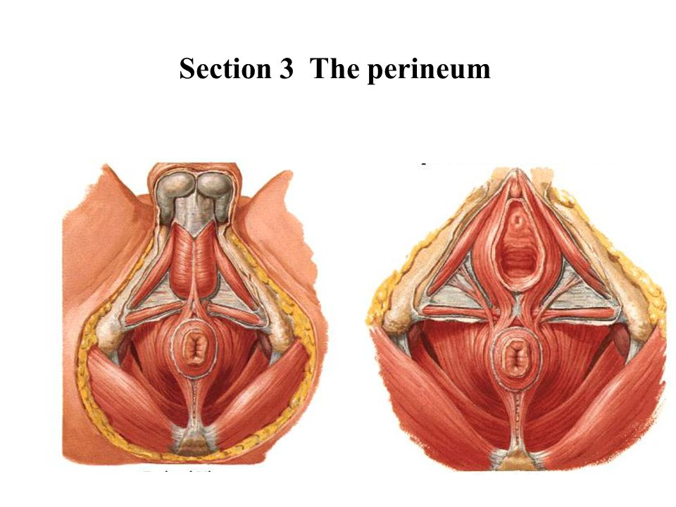 Section 3 The perineum