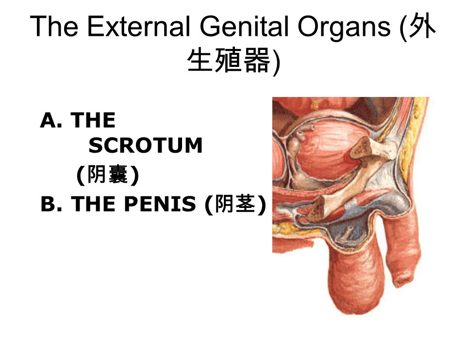 The External Genital Organs (外生殖器)