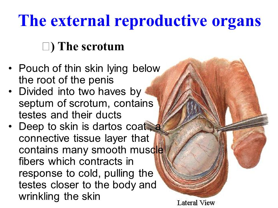 The external reproductive organs