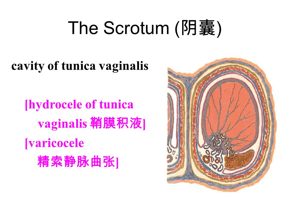 The Scrotum (阴囊) cavity of tunica vaginalis (鞘膜腔)
