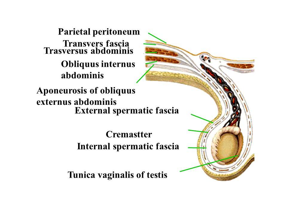 Parietal peritoneum Transvers fascia. Obliquus internus. abdominis. Trasversus abdominis. Aponeurosis of obliquus externus abdominis.