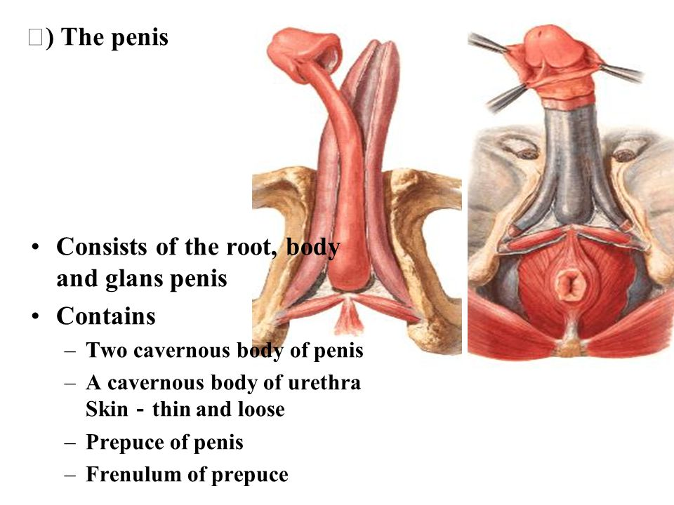 Consists of the root, body and glans penis Contains