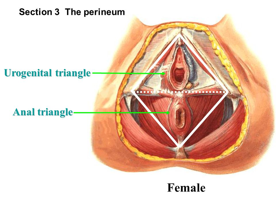 Section 3 The perineum Urogenital triangle Anal triangle Female
