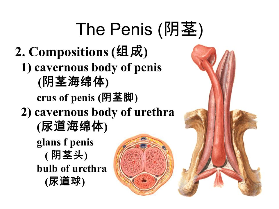 The Penis (阴茎) 2. Compositions (组成) 1) cavernous body of penis (阴茎海绵体)