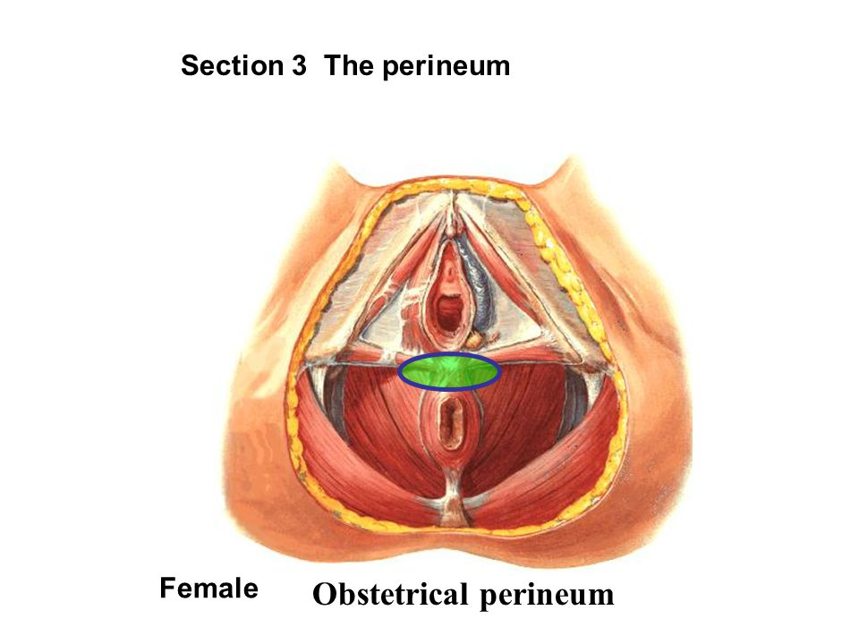 Section 3 The perineum Female Obstetrical perineum