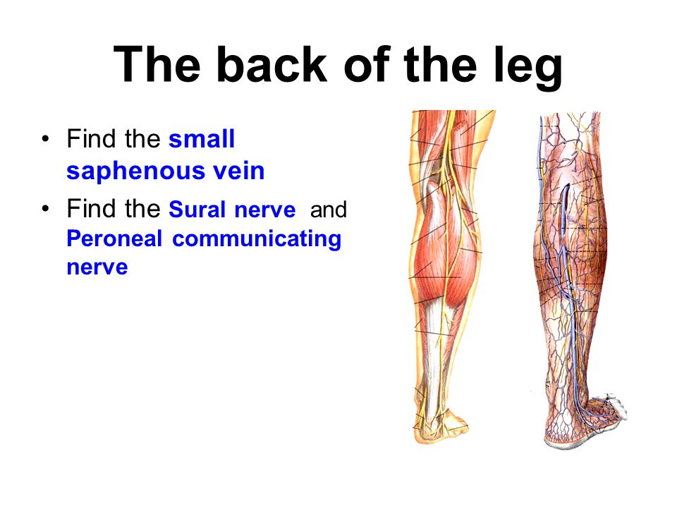 The back of the leg Find the small saphenous vein