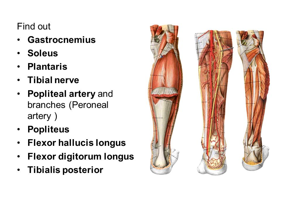 Find out Gastrocnemius. Soleus. Plantaris. Tibial nerve. Popliteal artery and branches (Peroneal artery )