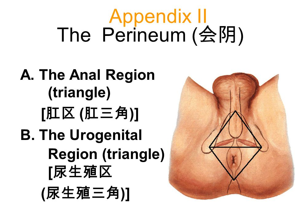 Appendix II The Perineum (会阴)