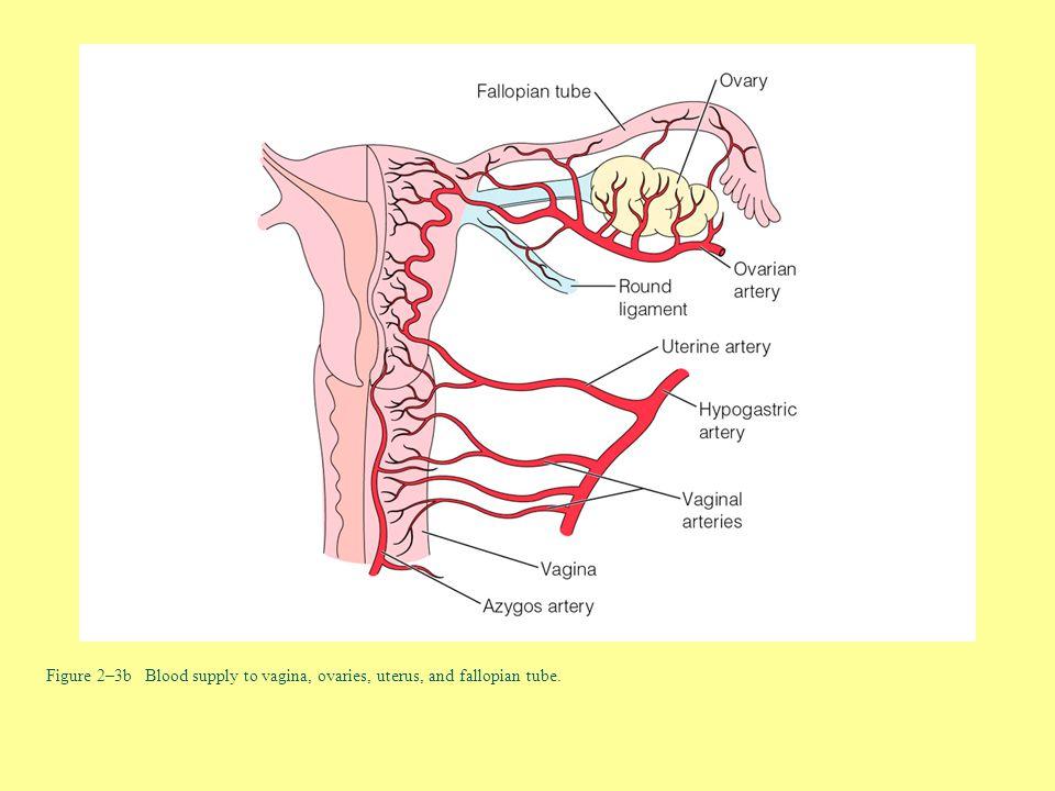 Figure 2–3b Blood supply to vagina, ovaries, uterus, and fallopian tube.