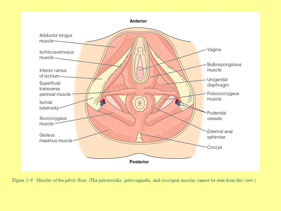 Figure 2–9 Muscles of the pelvic floor