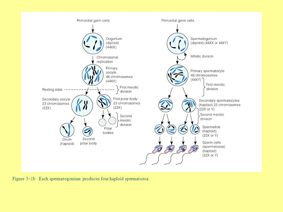 Figure 3–1b Each spermatogonium produces four haploid spermatozoa.