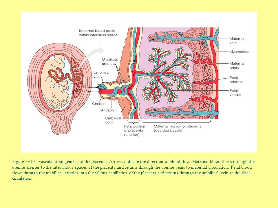 Figure 3–10 Vascular arrangement of the placenta