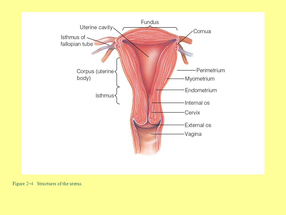 Figure 2–4 Structures of the uterus.