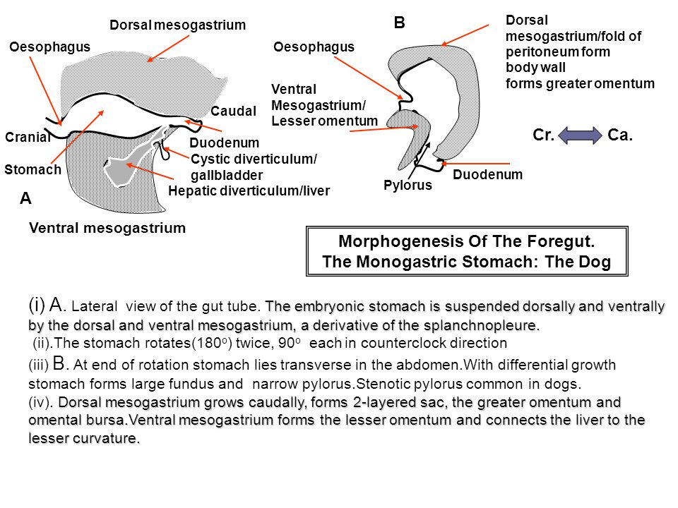 Morphogenesis Of The Foregut. The Monogastric Stomach: The Dog