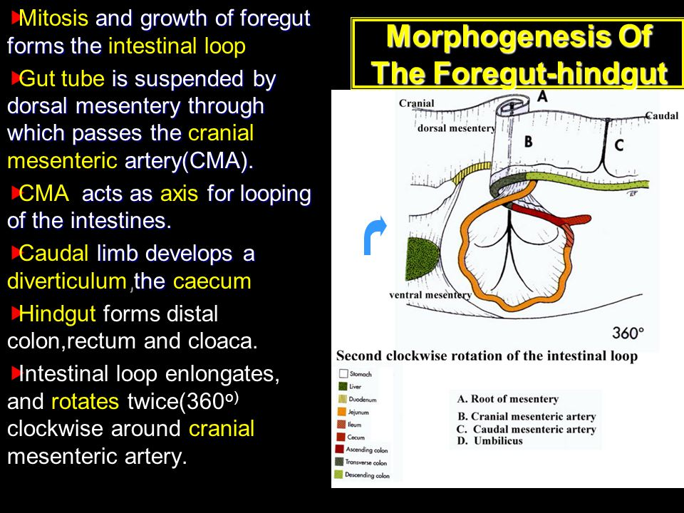 Morphogenesis Of The Foregut-hindgut