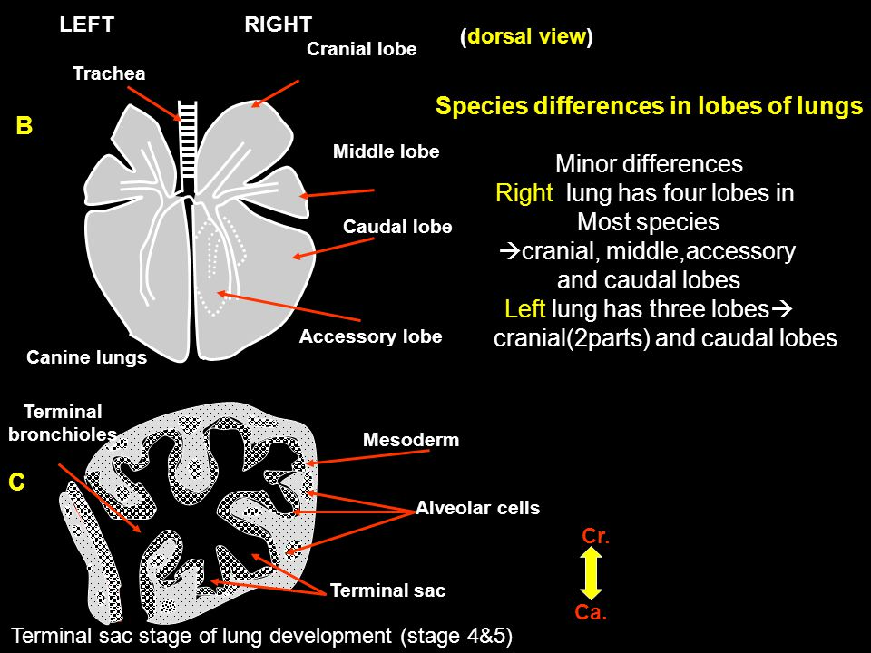Species differences in lobes of lungs