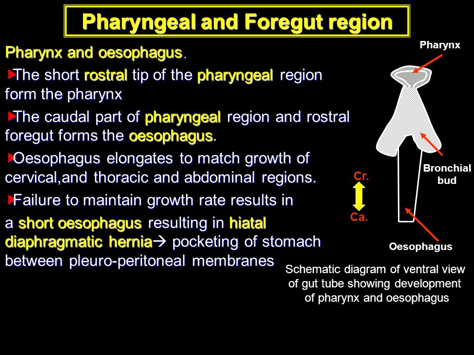 Pharyngeal and Foregut region