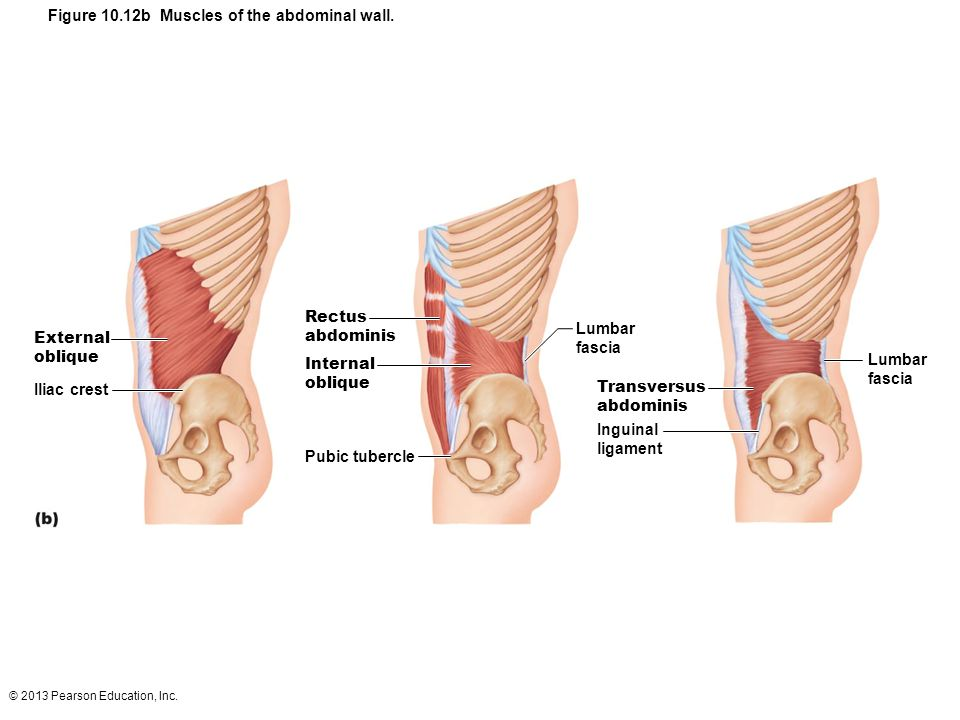 Figure 10.12b Muscles of the abdominal wall.
