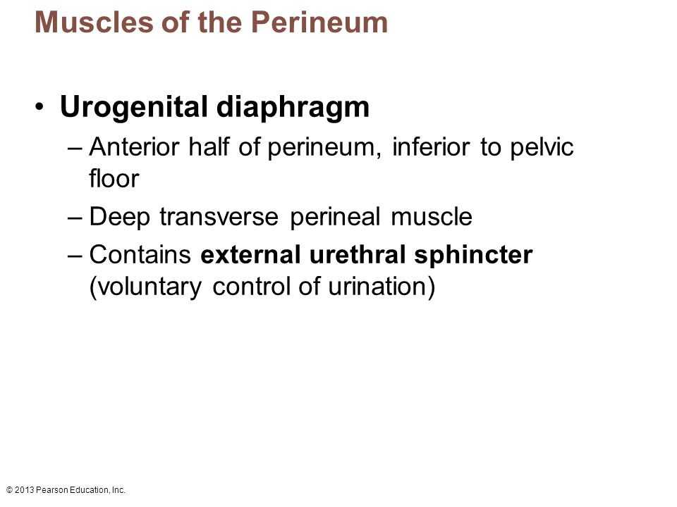 Muscles of the Perineum