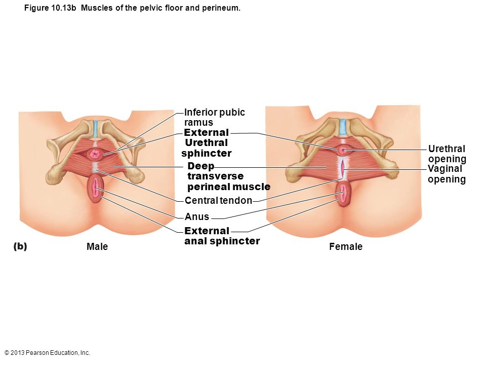 Figure 10.13b Muscles of the pelvic floor and perineum.