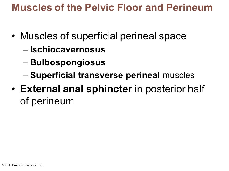 Muscles of the Pelvic Floor and Perineum