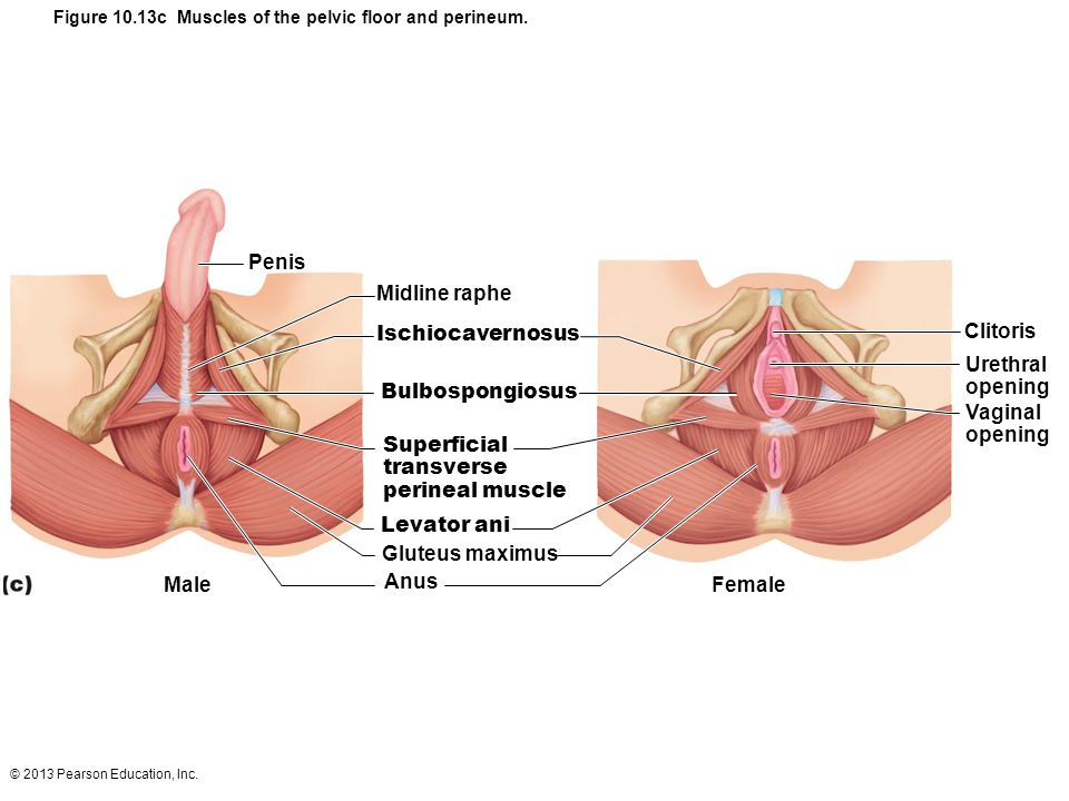 Figure 10.13c Muscles of the pelvic floor and perineum.