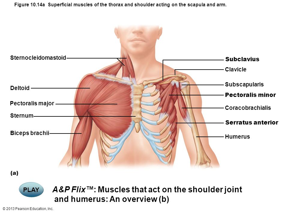 Figure 10.14a Superficial muscles of the thorax and shoulder acting on the scapula and arm.
