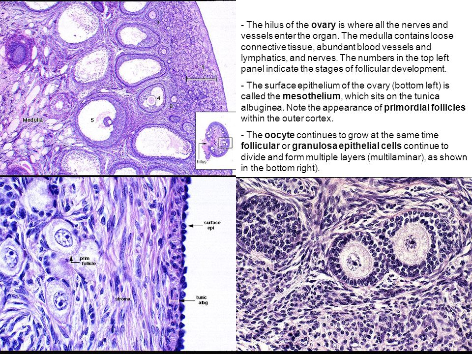 The hilus of the ovary is where all the nerves and vessels enter the organ. The medulla contains loose connective tissue, abundant blood vessels and lymphatics, and nerves. The numbers in the top left panel indicate the stages of follicular development.