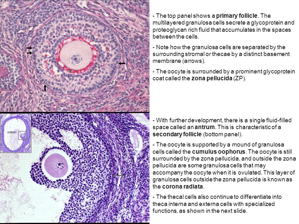 The top panel shows a primary follicle