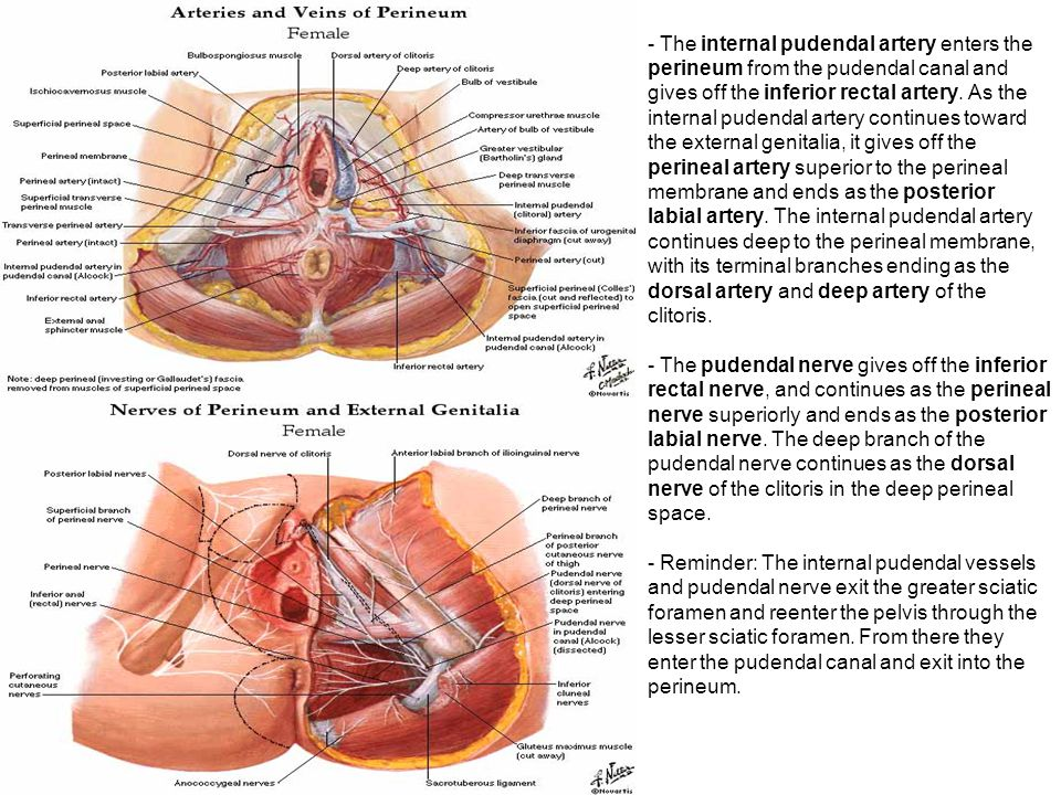 The internal pudendal artery enters the perineum from the pudendal canal and gives off the inferior rectal artery. As the internal pudendal artery continues toward the external genitalia, it gives off the perineal artery superior to the perineal membrane and ends as the posterior labial artery. The internal pudendal artery continues deep to the perineal membrane, with its terminal branches ending as the dorsal artery and deep artery of the clitoris.
