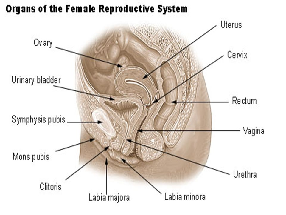 Internal genitalia