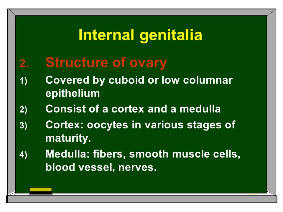Internal genitalia Structure of ovary
