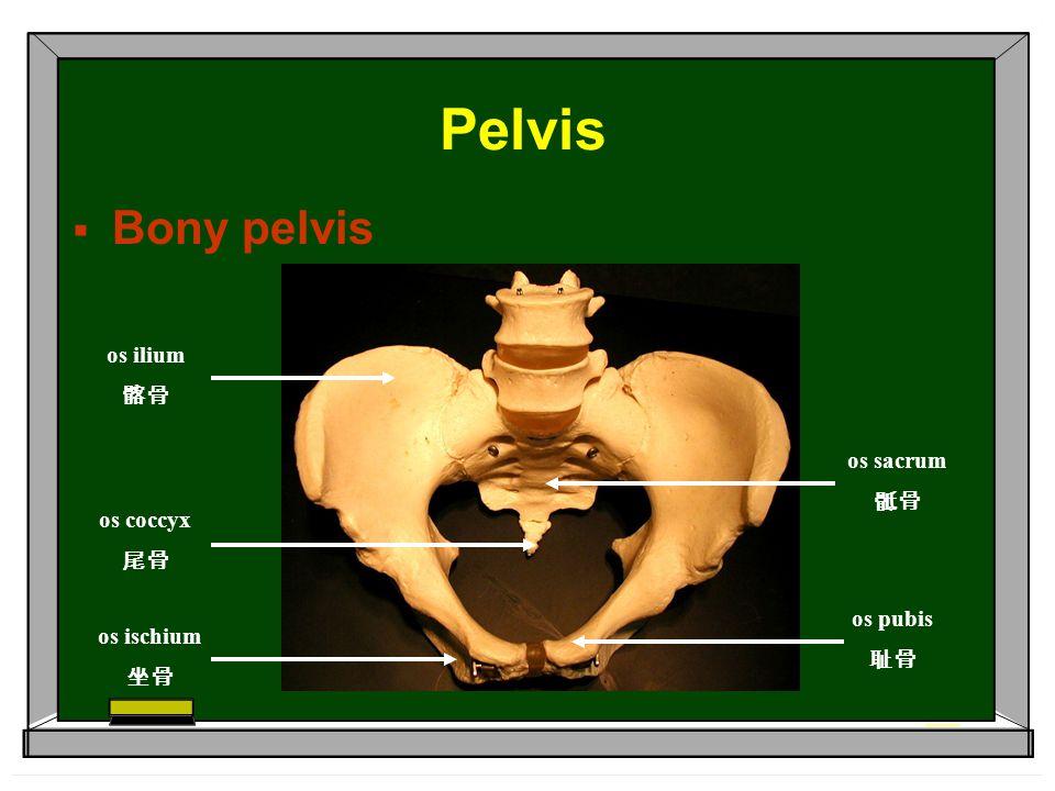 Pelvis Bony pelvis os ilium 髂骨 os sacrum 骶骨 os coccyx 尾骨 os pubis 耻骨