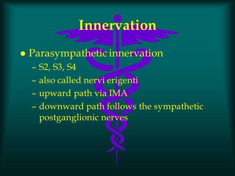 Innervation Parasympathetic innervation S2, S3, S4