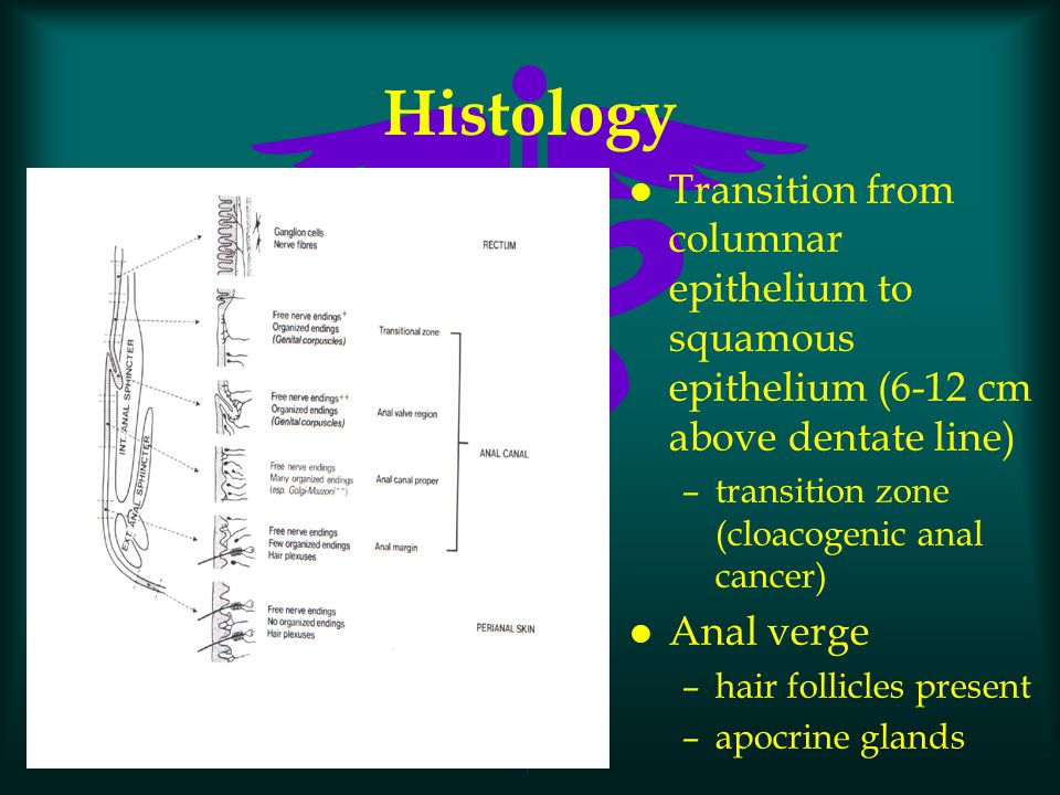 Histology Transition from columnar epithelium to squamous epithelium (6-12 cm above dentate line) transition zone (cloacogenic anal cancer)